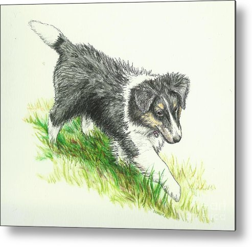 Sheltie Metal Print featuring the drawing Miss Mary by Sue Bonnar