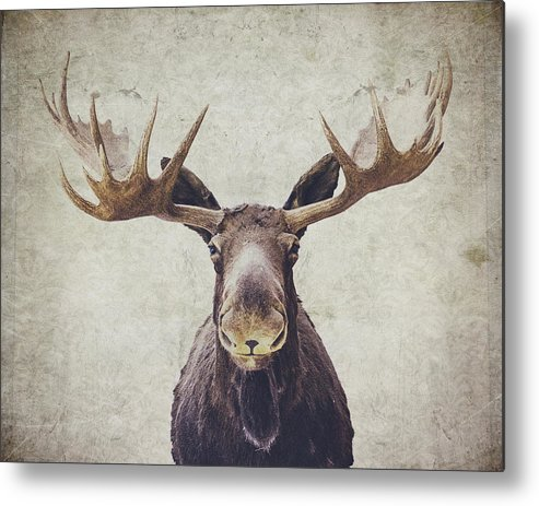 Moose Metal Print featuring the photograph Moose by Nastasia Cook
