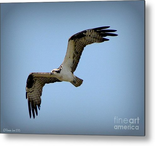 Birds Metal Print featuring the photograph Osprey by Rennae Christman