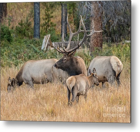 Mammal Metal Print featuring the photograph Rocky Mountain Elk by Dennis Hammer