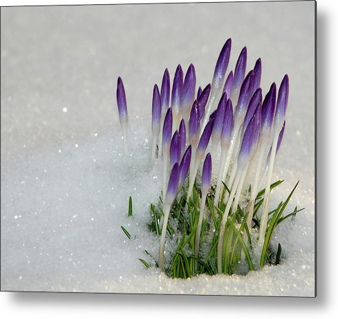 Spring Metal Print featuring the photograph Spring Snow by Lisa Kane