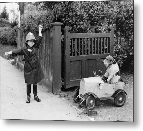 Pets Metal Print featuring the photograph Doggy Driver by Fox Photos