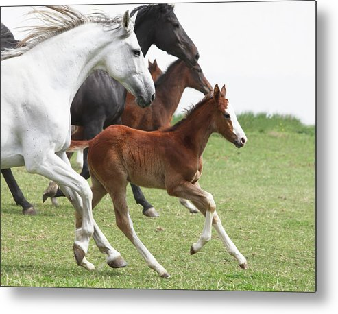 Horse Metal Print featuring the photograph A Group Of Galloping Horses In An Open by Somogyvari