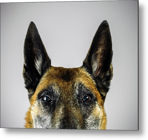 Pets Metal Print featuring the photograph Belgian Sheperd Malinois Dog Looking At by Joan Vicent Cantó Roig