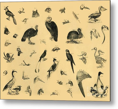 Engraving Metal Print featuring the drawing Birds by Print Collector