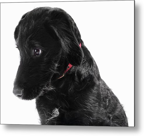 Pets Metal Print featuring the photograph Black Labradoodle by Gandee Vasan