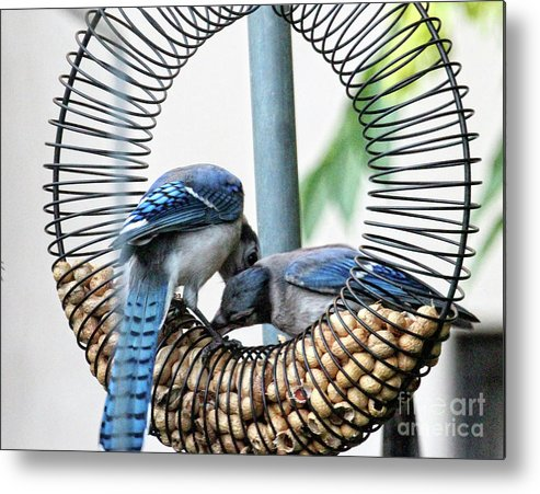 Female Blue Jay Metal Print featuring the photograph Blue Jays Wooing 1 by Patricia Youngquist