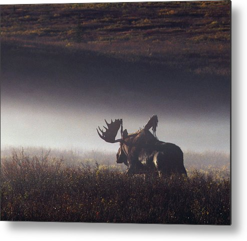 Majestic Metal Print featuring the photograph Bull Moose Alces Alces Walking Through by Johnny Johnson