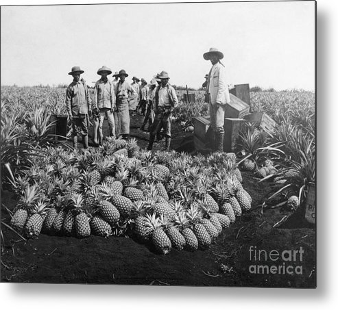 Farm Worker Metal Print featuring the photograph Farm Workers Beside Pineapple Stack by Bettmann