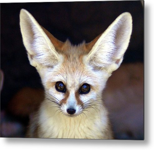 Alertness Metal Print featuring the photograph Fennec Fox by Floridapfe From S.korea Kim In Cherl