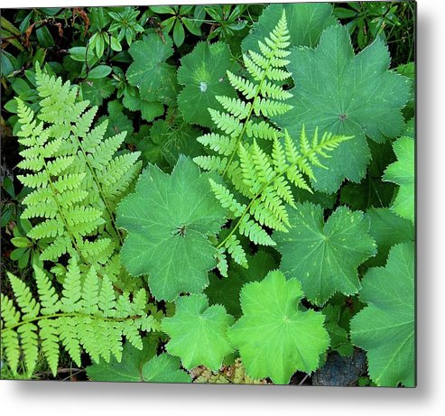 Outdoors Metal Print featuring the photograph Ferns And Ladys Mantle by Pamela Long