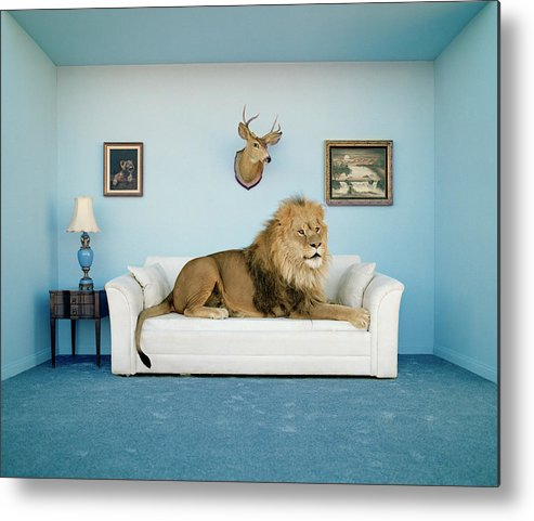 Pets Metal Print featuring the photograph Lion Lying On Couch, Side View by Matthias Clamer