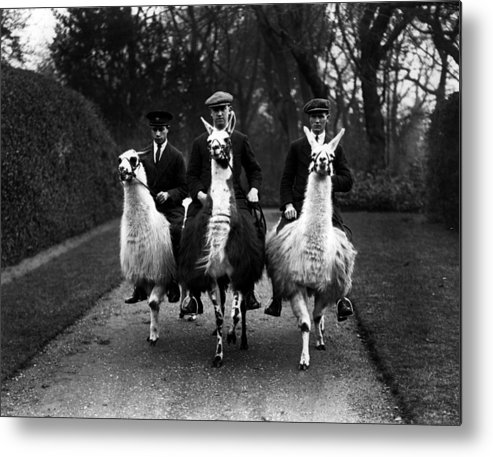 Animal Themes Metal Print featuring the photograph Llama Ride by Fox Photos