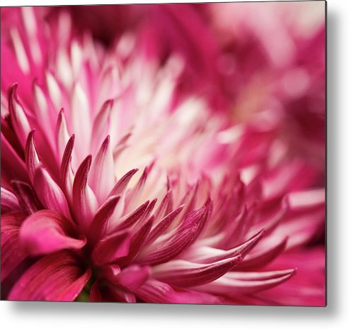 Petal Metal Print featuring the photograph Poised Petals by Jody Trappe Photography