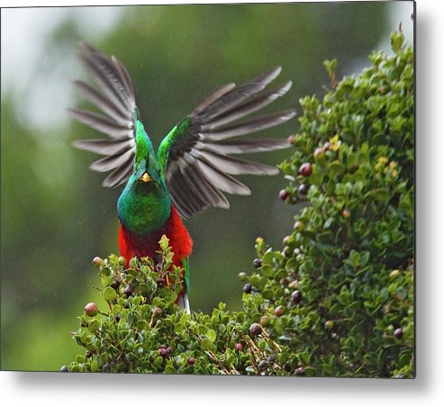Animal Themes Metal Print featuring the photograph Quetzal Taking Flight by Photograph Taken By Nicholas James Mccollum