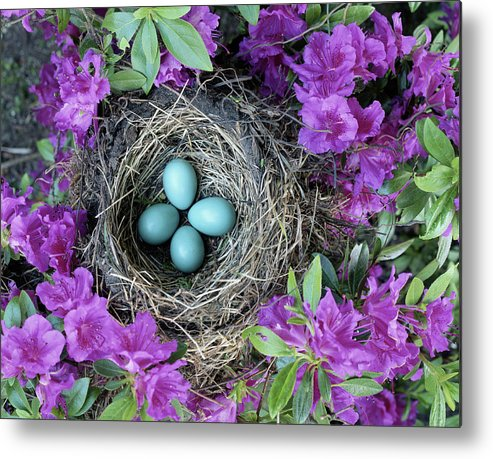Security Metal Print featuring the photograph Robins Nest In Azalea Bush, Spring by Art Wolfe