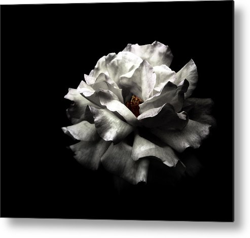 Black Background Metal Print featuring the photograph White Rose by Lola L. Falantes