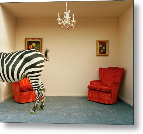 Out Of Context Metal Print featuring the photograph Zebra In Living Room Swishing Tail by Matthias Clamer