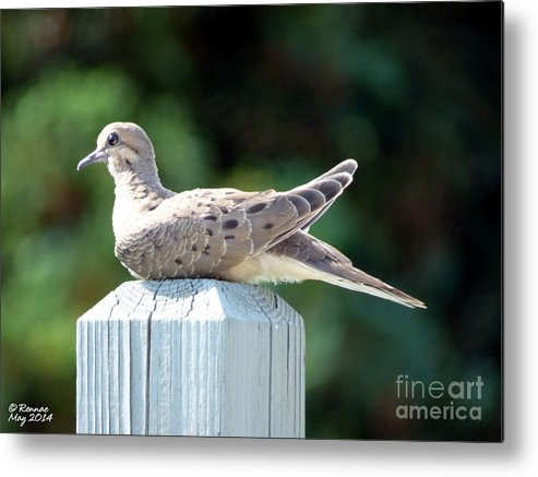 Dove Metal Print featuring the photograph Afternoon Visitor by Rennae Christman