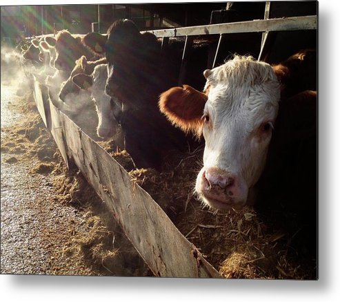 In A Row Metal Print featuring the photograph Cows Looking Out Of A Barn by James Ephraums