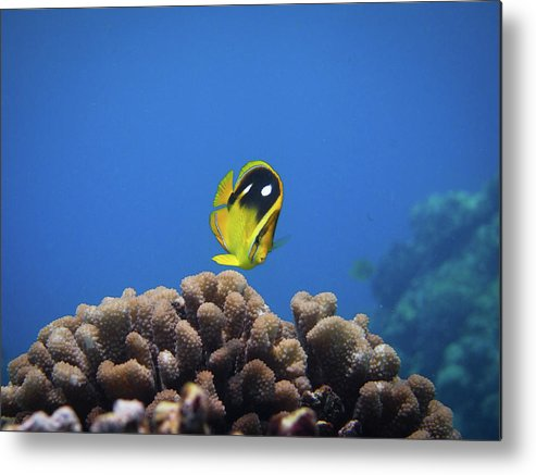 Underwater Metal Print featuring the photograph Four Spot Butterfly by Taiki Sakai