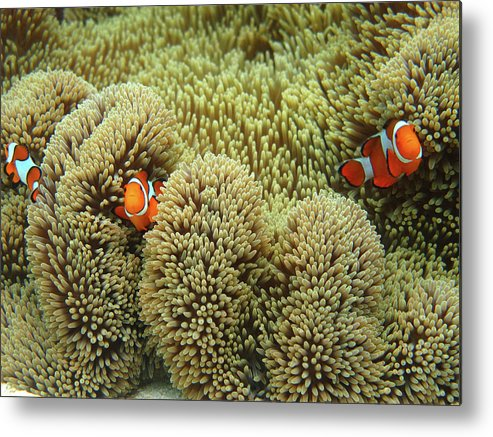 Underwater Metal Print featuring the photograph Nemo Family by Vuk8691