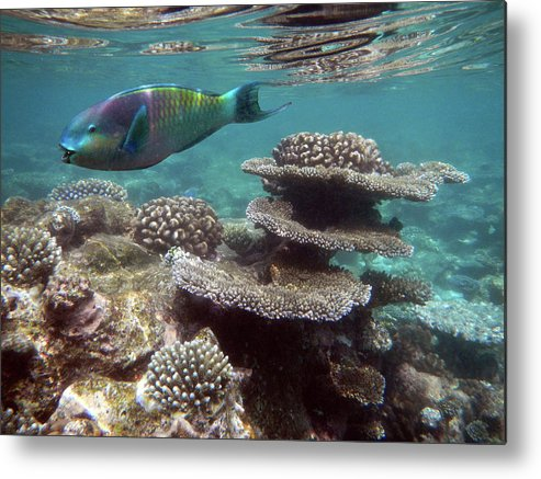 Underwater Metal Print featuring the photograph Parrotfish On The Barrier Reef At by Federica Grassi