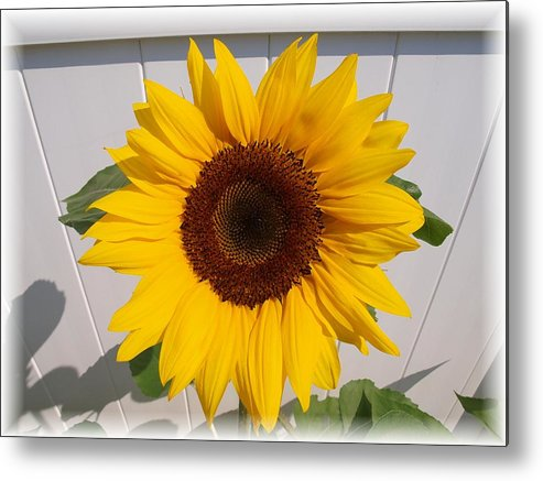 Sunflower Metal Print featuring the photograph Sunflower for Eva by Judy Waller