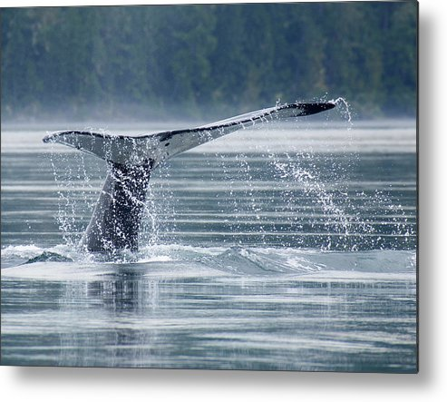 One Animal Metal Print featuring the photograph Tail Of Humpback Whale by Grant Faint