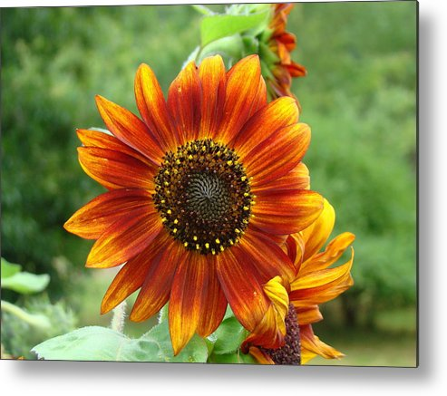 Red Sunflower Metal Print featuring the photograph Sunflower by Lisa Rose Musselwhite