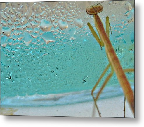 Praying Mantis Metal Print featuring the photograph Thirsty Young Mantis by Lana Cheng