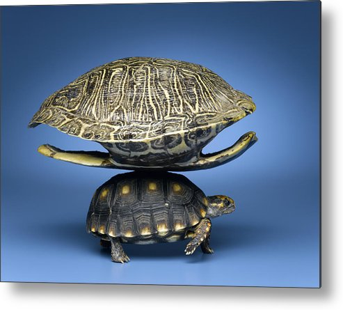 Horizontal Metal Print featuring the photograph Turtle With Larger Shell On Back by Jeffrey Hamilton