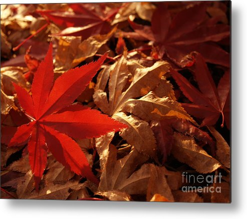 Leaf Metal Print featuring the photograph Back-lit Japanese Maple Leaf on Dried Leaves by Anna Lisa Yoder