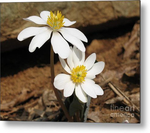 Bloodroot Metal Print featuring the photograph Bloodroot by Steve Gass