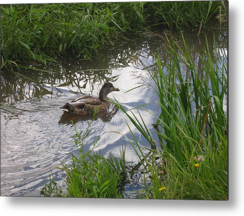 Duck Metal Print featuring the photograph Duck swimming in stream by Devorah Shoshanna