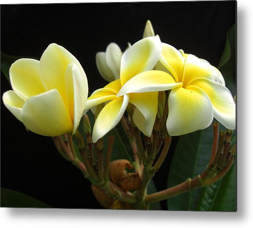 Floral Metal Print featuring the photograph Frangipani Blossoms by Frederic Kohli
