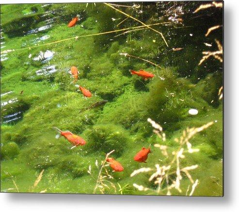 Goldfish Metal Print featuring the photograph Goldfish In A Pond by Devorah Shoshanna