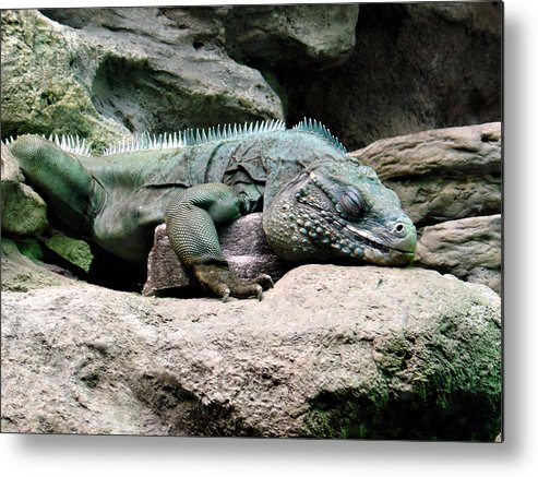 Lizard Metal Print featuring the photograph Grand Cayman Blue Iguana by Angelina Tamez
