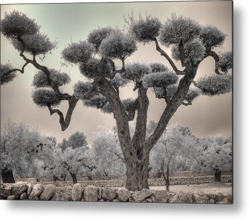Olive Metal Print featuring the photograph Infrared Spanish Olive Tree Bonsai by Jane Linders
