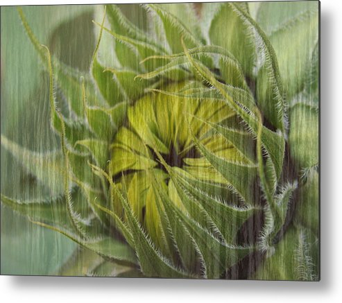 Sunflower Metal Print featuring the photograph Liquid Sunflower by Tingy Wende