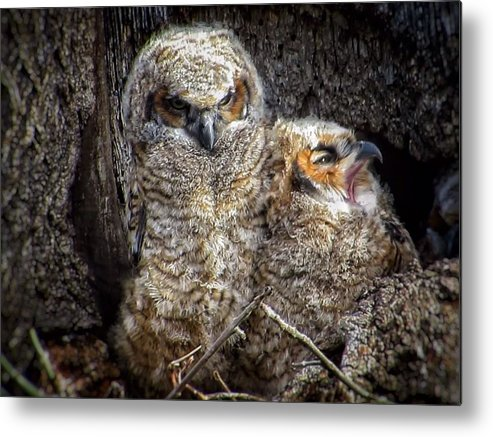 Great Horned Owl Metal Print featuring the photograph Nap time by Rrrose Pix