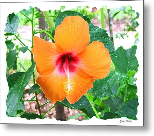 Landscrape Metal Print featuring the photograph Orange Hibiscus by Judy Waller
