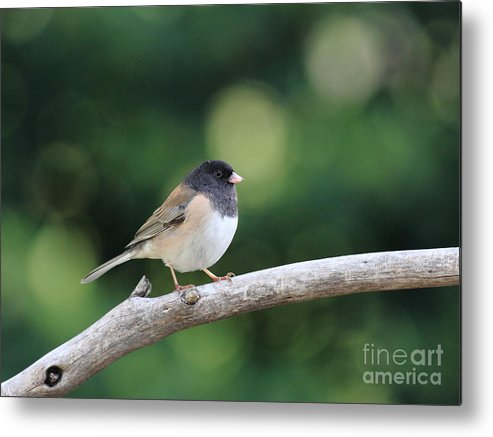 Wildlife Metal Print featuring the photograph Oregon Junco by Wingsdomain Art and Photography