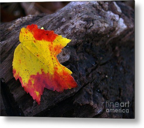 Leaf Metal Print featuring the photograph Red Maple Leaf on Old Log by Anna Lisa Yoder