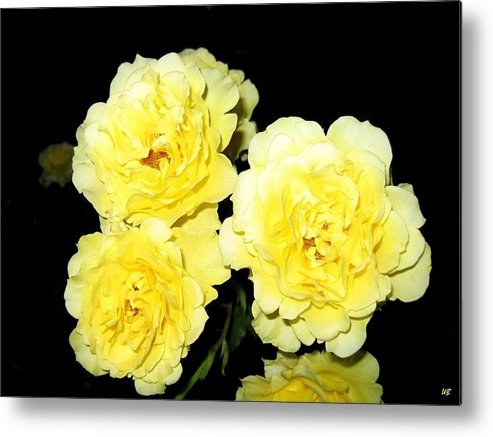 Roses Metal Print featuring the photograph Roses 11 by Will Borden
