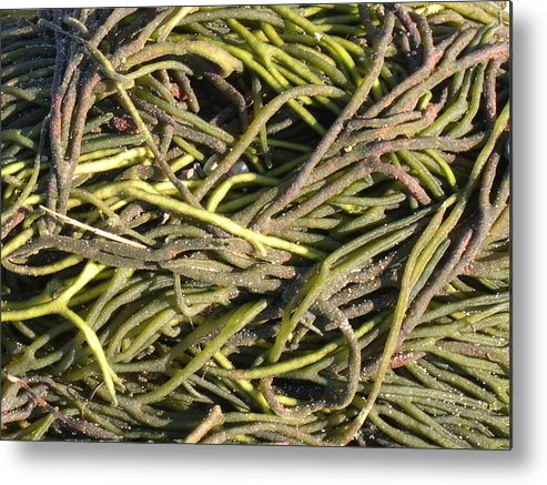 Sea Metal Print featuring the photograph Sea Weed Cluster by Rebecca Marona