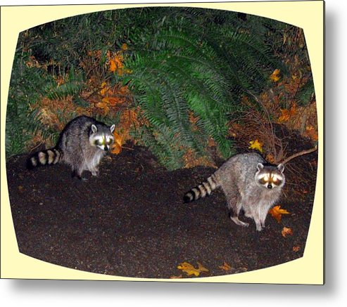 Raccoons Metal Print featuring the photograph Stanley Park Rascals by Will Borden