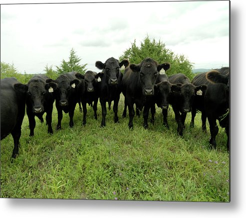 Grass Metal Print featuring the photograph Black Angus Cows by Xpacifica