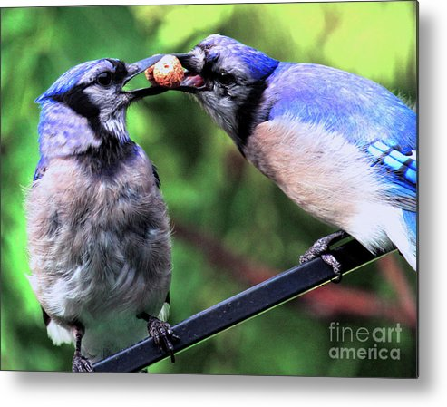 Wildlife Metal Print featuring the photograph Blue Jays Wooing 2 by Patricia Youngquist