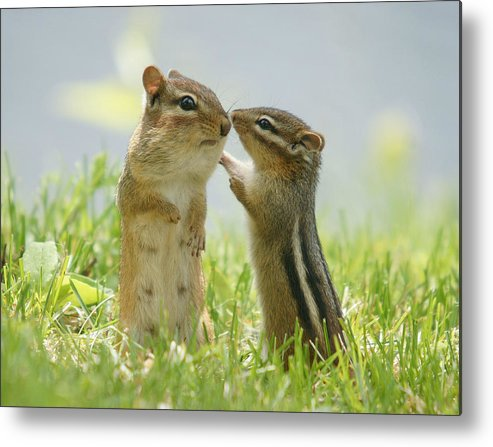 Grass Metal Print featuring the photograph Chipmunks In Grasses by Corinne Lamontagne